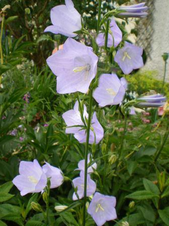 Copyright image:  True pale blue of the lovely campanula persicifolia.