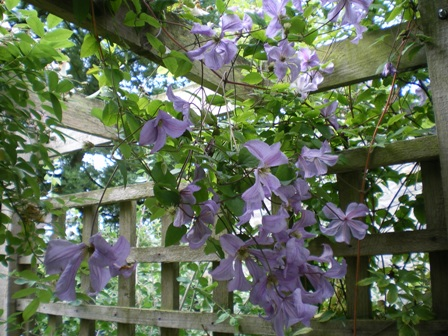 Copyright image: Purple clematis trailing over a pergola made from the free pergola plans.