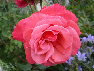 Copyright image: Pergola climbing plants: a beautiful pink climbing rose growing over a pergola trellis.