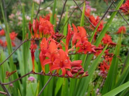 Copyright image: Plants: the architectural form of crocosmia 'Lucifer'.