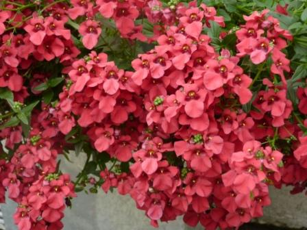 Copyright image: A gorgeous diascia in a zinc planter, ideal for placing next to pergola posts.