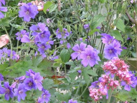 Copyright image:  Gorgeous blue of geranium grandiflorum.