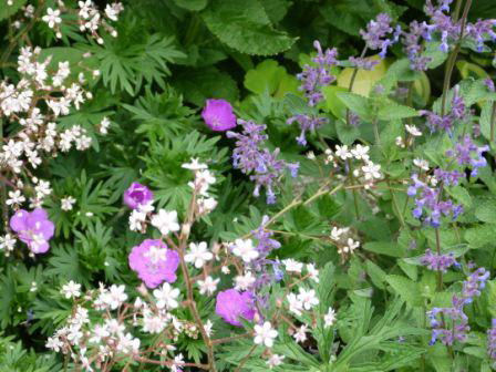 Copyright image:  London's Pride with geranium sanguinium and nepeta.