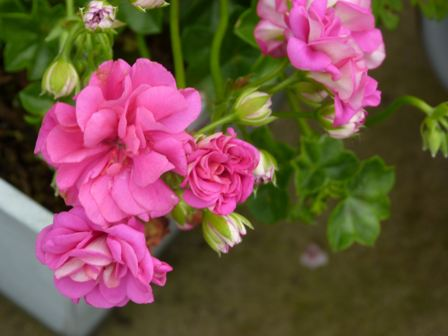 Copyright image: Beautiful trailing geraniums.