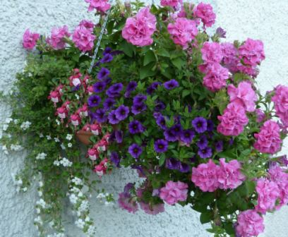 Copyright image: A hanging basket with purple million bells, pink double petunia, white bacopa and a trailing fuscia.