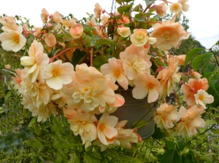 Copyright image: A beautiful trailing peach begonia in a hanging basket on a pergola.