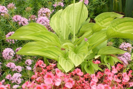 Copyright image: Lime green hosta and beautiful pink diascia.
