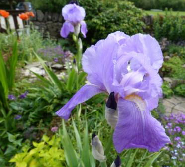 Copyright image:  A gorgeous violet purple bearded iris.
