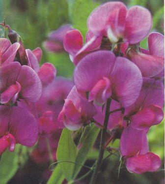 Lathyrus - everlasting sweet pea.