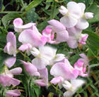 Pergola climbing plants: lathyrus or everlasting sweet pea.