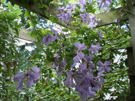 Copyright image: Pergola climbing plants: a heavenly purple clematis growing over a pergola trellis.