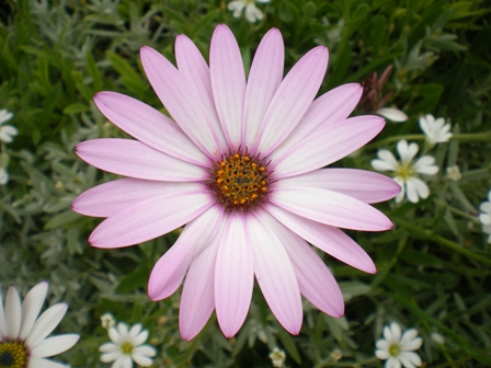 The perfectly formed osteospermum.