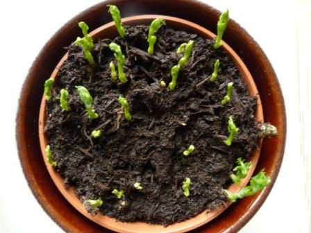 Copyright image: Pea shoot growth indoors after one week.