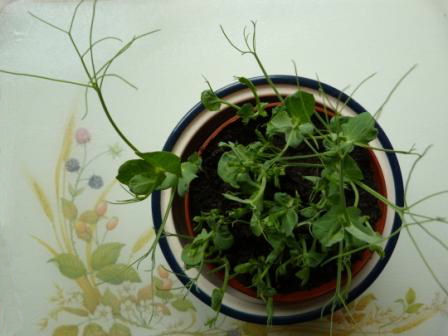Copyright image: Pea shoot growth indoors after two weeks.