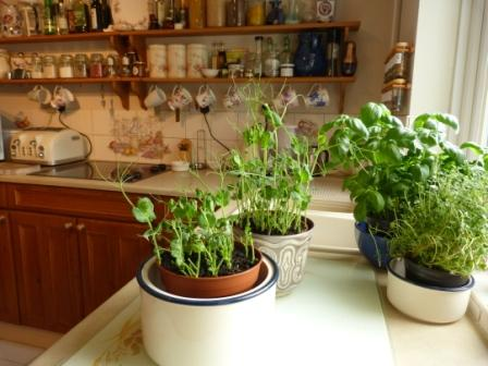 Copyright image: Pea shoots growing indoors in pots.