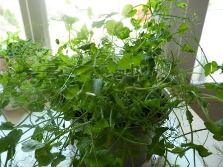 Copyright image: Pea shoots grown indoors.