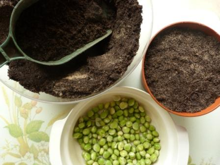 Copyright image: Pea shoots ina pot, ready to sprout.
