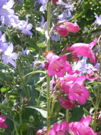 Copyright image: Cottage garden flowers - blue campanula and pink penstemon.
