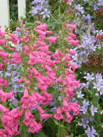 Copyright image:  Beautiful plant combination of campanula 'Pritchard's Variety' and penstemon.