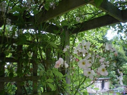 Copyright image: Pergola climbing plants: a vigorous pale pink rambler rose growing over a pergola.