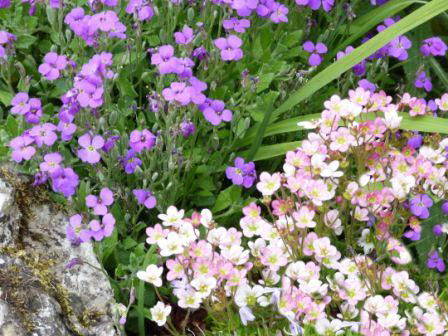 Copyright image:  Vibrant purple aubretia with pale pink saxifrage.