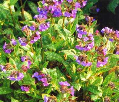 Copyright image:  Delicate pink and purple flowers of pulmonaria.