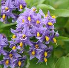 Copyright image: Pergola climbing plants: the gorgeous solanum or potato vine.