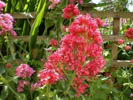 Copyright image:  Wonderful deep pink centranthus, also known as valerian.