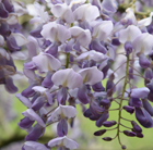 Pergola climbing plants: the wonderful purple flowers of the wisteria.
