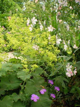 Copyright image:  Lime green plant alchemilla mollis with sidalcea and geranuim sanguinium.
