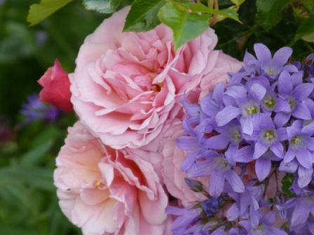 Copyright image: the gorgeously fragrant pink climbing rose 'Aloha' with a purple campanula.