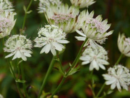 Copyright image:  Unusual and wonderful cream astrantia.