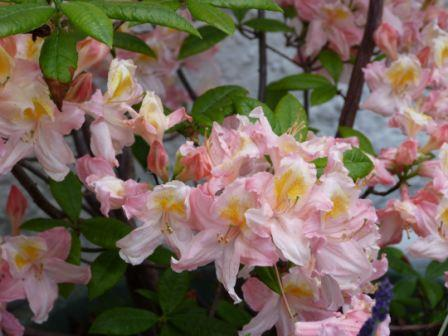 Copyright image: A beautiful pink and yellow deciduous azalea.