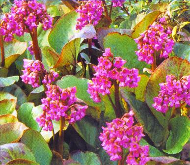 Copyright image:  Deep pink bergenia with its architectural foliage.