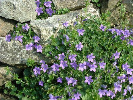 Copyright image:  The lovely purple rockery plant campanula portenschlagiana.