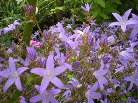 Copyright image:  The lovely purple rockery plant campanula poscharskyana.