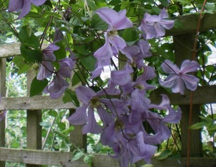 Copyright image: Pergola climbing plants: a heavenly purple clematis growing over a pergola trellis.