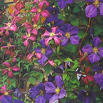 Copyright image: Beautiful Pink and purple clematis.