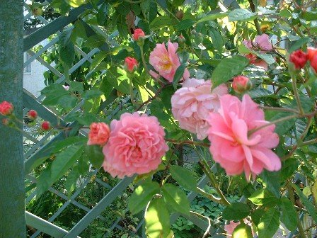 Copyright image: a beautiful, pink climbing rose growing up pergola trellis.