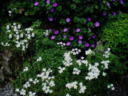 Copyright image:  Cream saxifrage with geranium sanguinium.