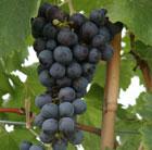Pergola climbing plants: grapevines.