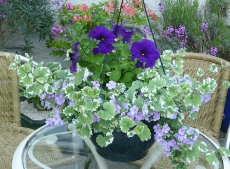 Copyright image: A hanging basket with purple petunias, blue bacopa and nepeta.
