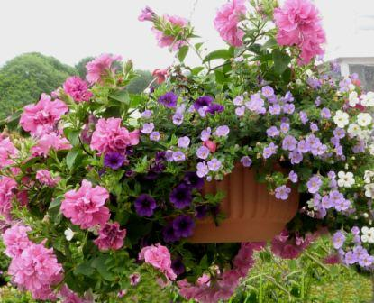 Copyright image: Gorgeous hanging basket with pink petunias, purple million bells and blue bacopa in a self-watering hanging basket.