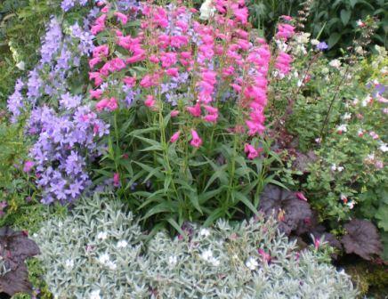 Copyright image:  Beautiful plant combination of campanula 'Pritchard's Variety' and penstemon with a plum heuchera.
