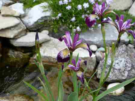 Copyright image:  Beautiful markings on a magenta purple siberian iris.