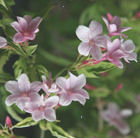 Pergola climbing plants: the delicate and perfumed jasmine stephanense.