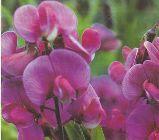 Deep pink lathyrus, everlasting sweet pea.