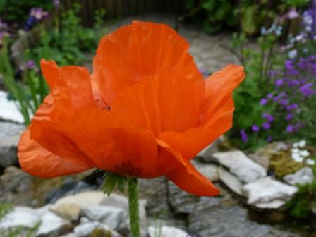 Copyright image:  Delicate petals on a fantastic orange poppy.