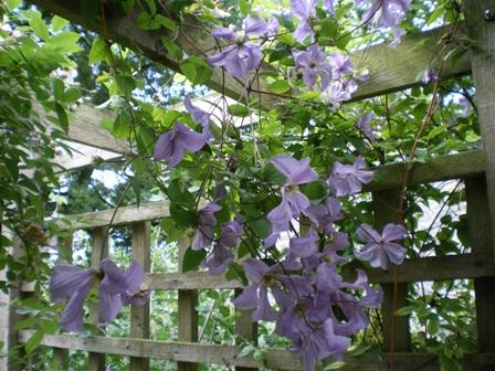 Copyright image: Pergola climbing plants: a heavenly purple clematis growing over a pergola trellis and rafters.