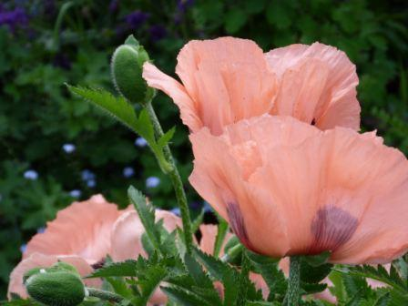 Copyright image:  The most stunning coral pink poppy.